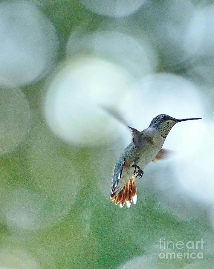 Hummingbird Photograph - Approaching The Light by Wayne Nielsen