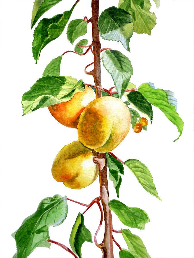 Apricot Painting - Apricots by Irina Sztukowski