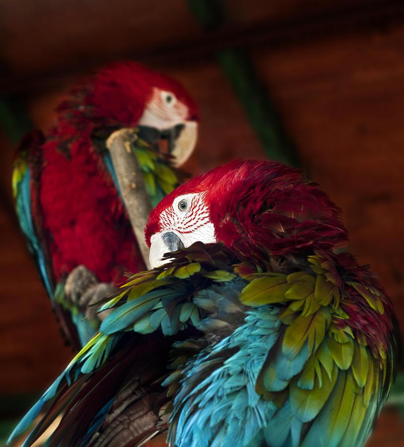Parrot Photograph - ARA by Ivan Vukelic