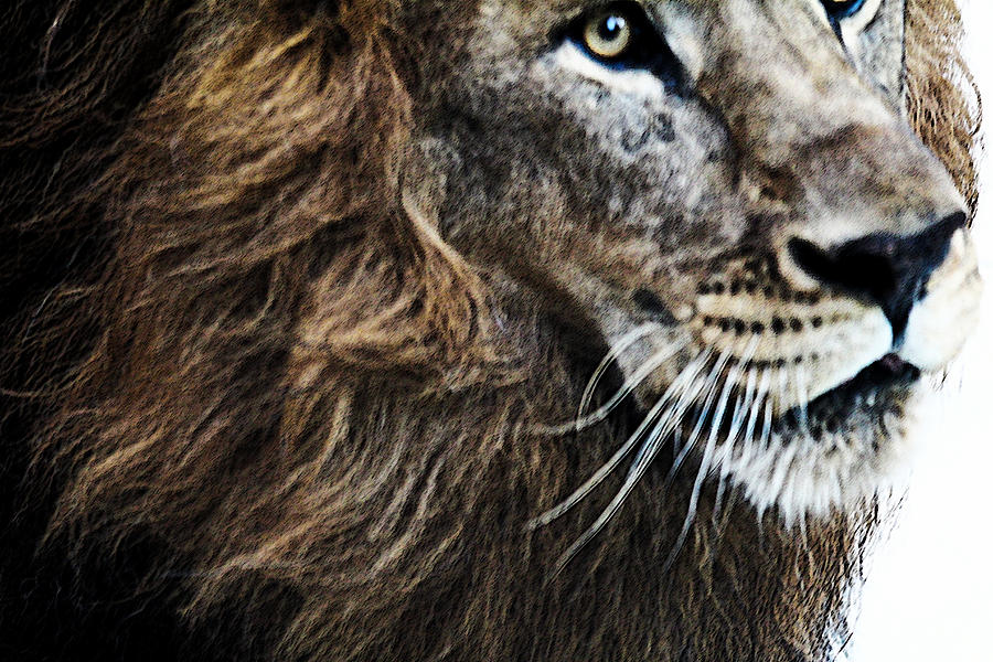 Lion Photograph - Aramis by Elizabeth Hart