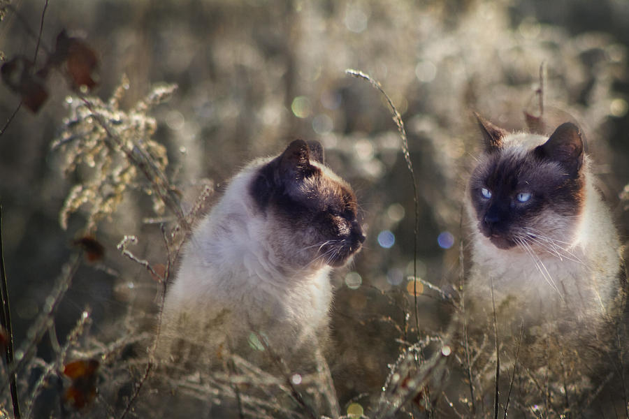 Siamese Photograph - Are You Dreaming About Me - Siamese Feral Cat by Kathy Clark