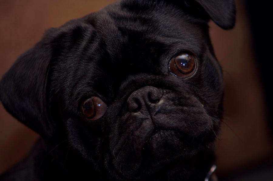 Pug Photograph - Are You Talking To Me by Lonnie Niver