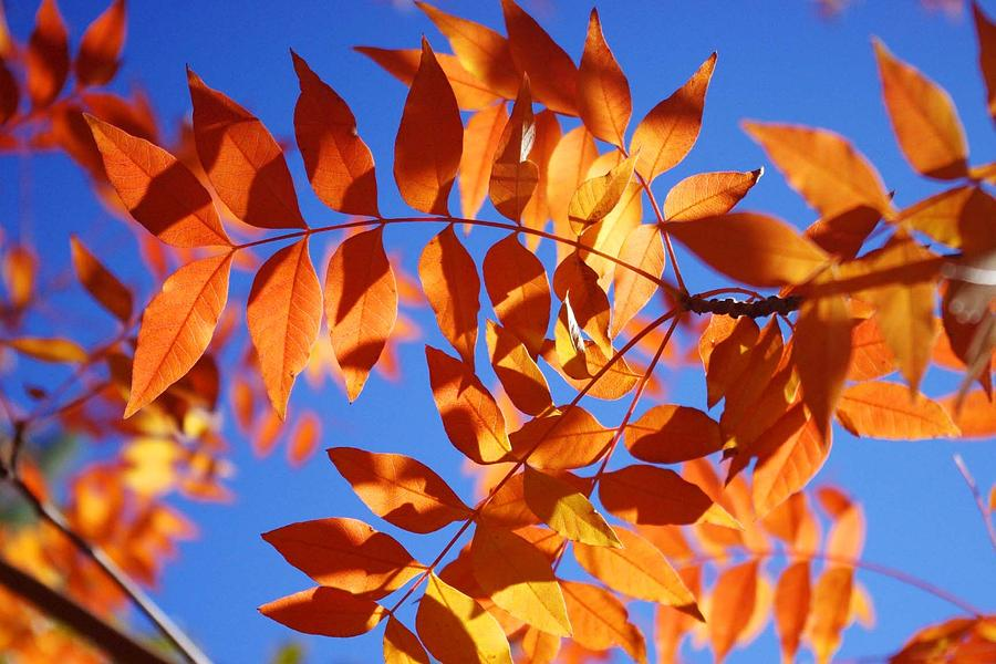 Leaves Photograph - Arizona Fall 1 by David Rizzo