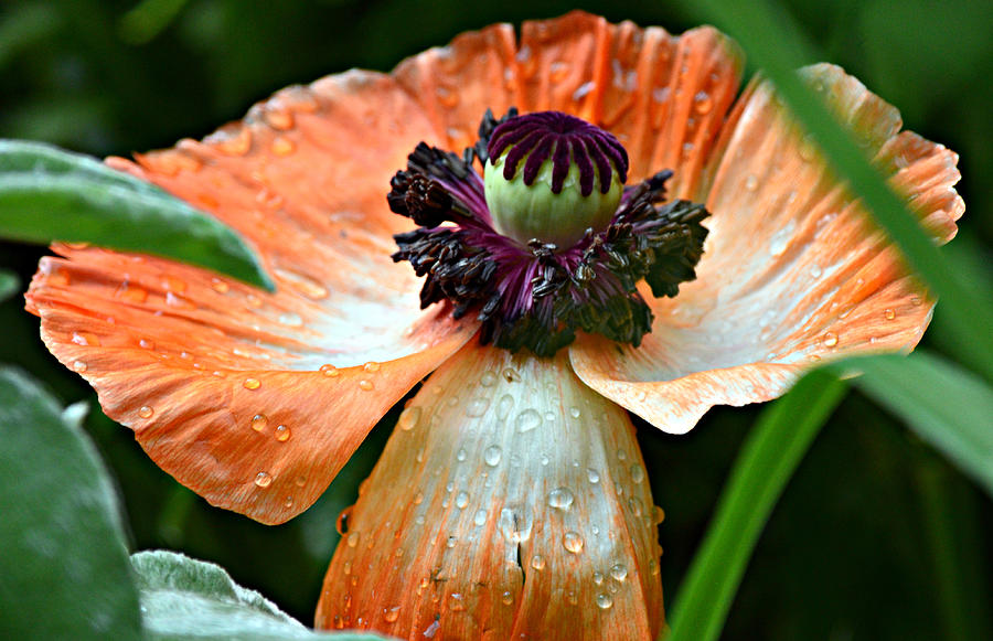 Poppy Photograph - Arms Wide Open by Fraida Gutovich