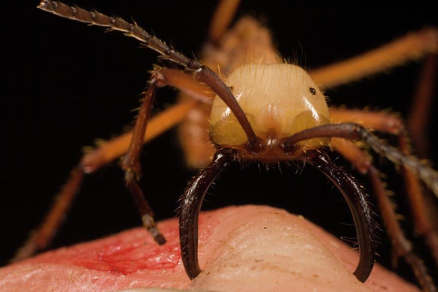 Mp Photograph - Army Ant Eciton Hamatum Major Worker by Mark Moffett