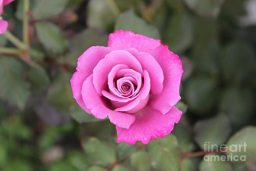 Rose Photograph - Arose-atherapy by Scenesational Photos