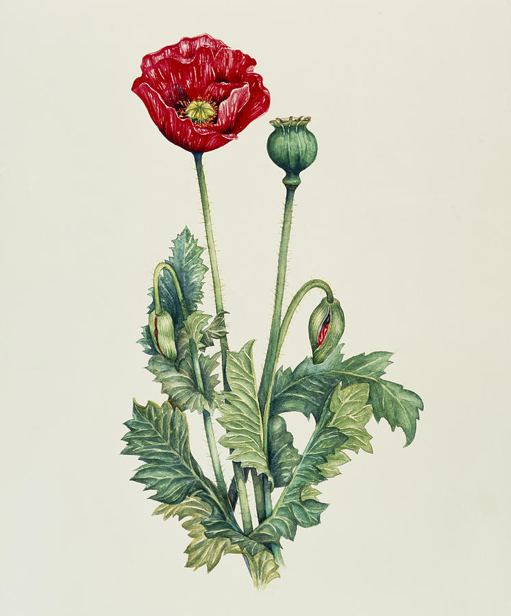 Opium Art Art Of An Opium...