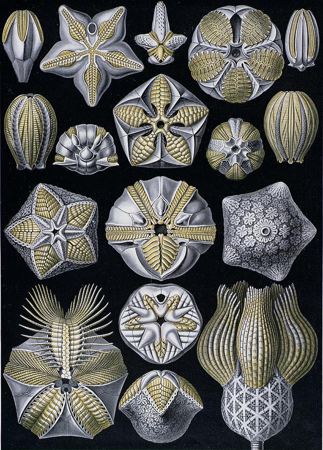 Blastoidea Painting - Artforms Of Nature by Ernst Haeckel