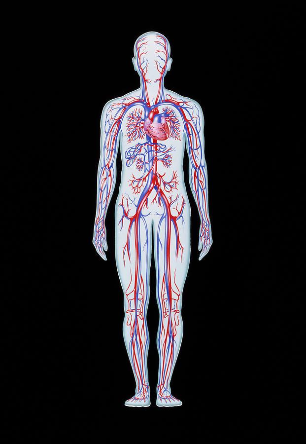 Blood Circulation Photograph - Artwork Of Human Blood Circulation by John Bavosi