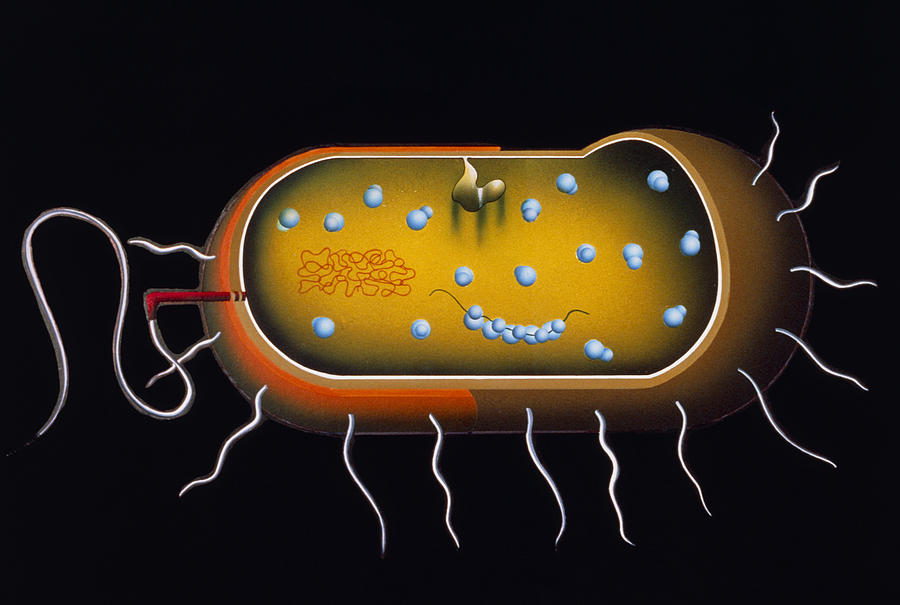 Microbiology Photograph - Artwork Of Structure Of A Bacterium by Francis Leroy, Biocosmos