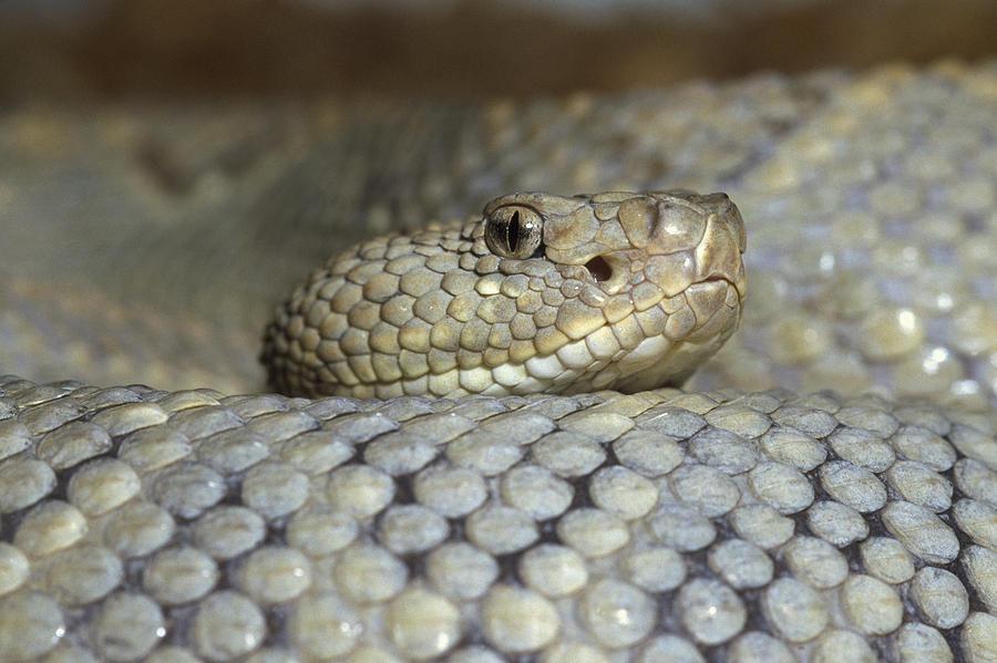 Mp Photograph - Aruba Rattlesnake Crotalus Unicolor by Gerry Ellis