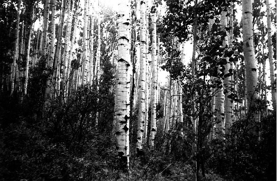 Aspen Digital Art - Aspen Grove Bw by Bill Kennedy