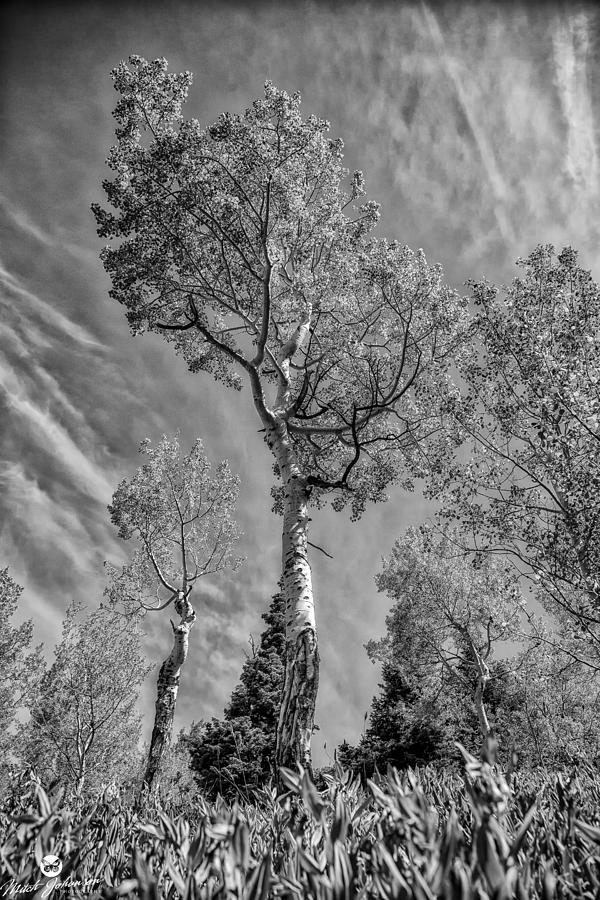 Black N White Photograph - Aspen In The Sky Bw by Mitch Johanson