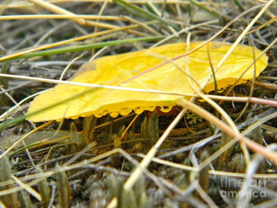 Aspen Photograph - Aspen Leaf After The Rain by Sara  Mayer