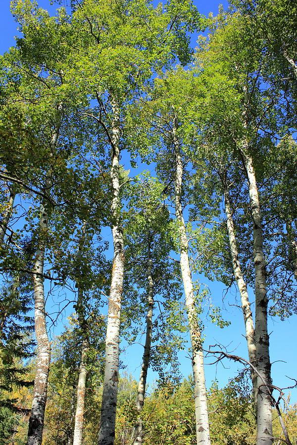 Aspen Poplar Trees Photograph By Jim Sauchyn