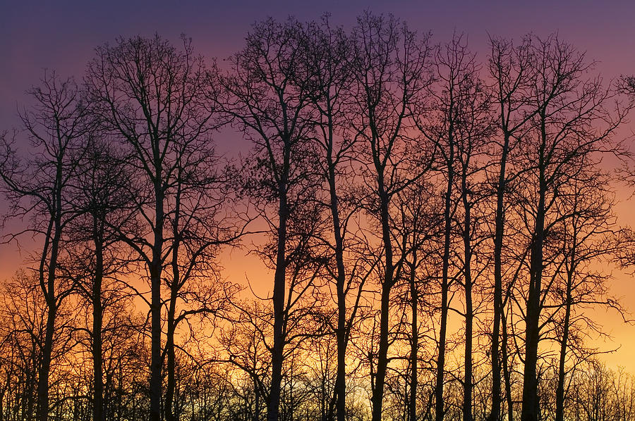 Aspen Trees Against Sunrise Water Photograph By Darwin