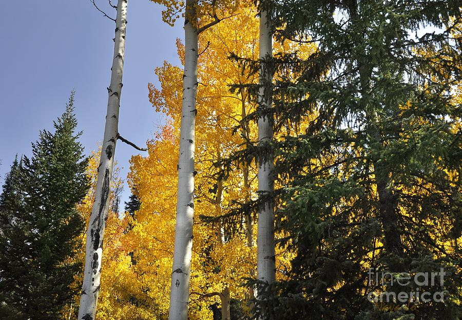 Colorado Photograph - Aspens High In The Sky by Nava Thompson