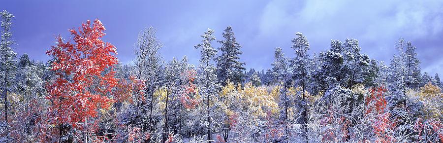 Aspen Tree Photograph - Aspens In Fall With Snow, Near 100 Mile by David Nunuk