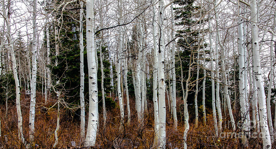 Fall Color Photograph - Aspens by Robert Bales