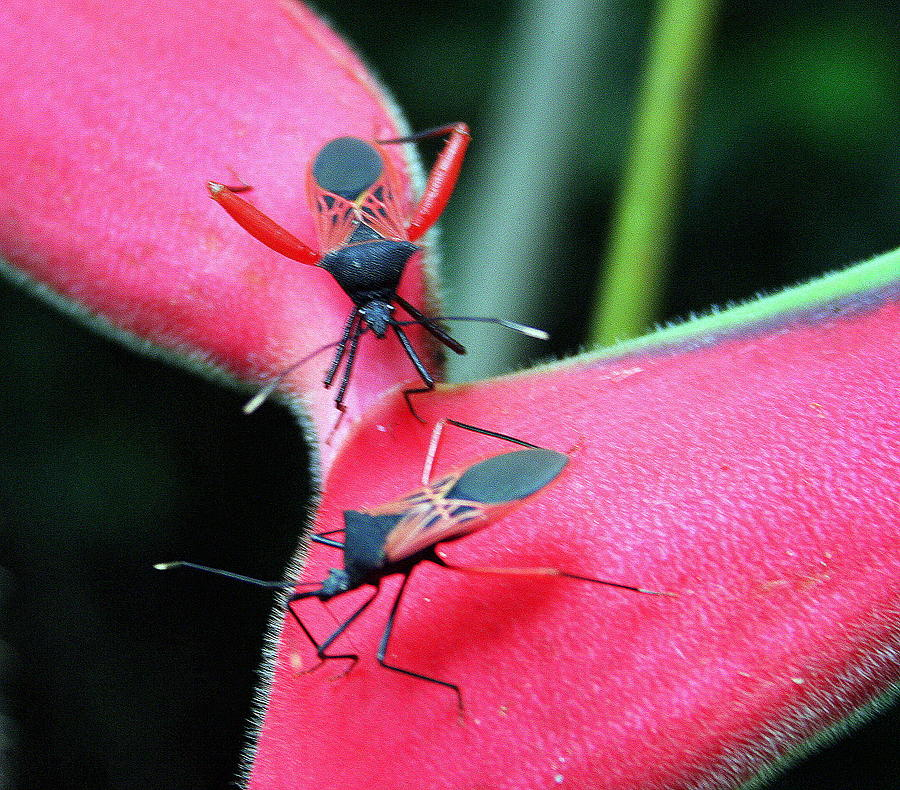 Assassin Bug Photograph - Assassin Bug Matchup by Laurel Talabere