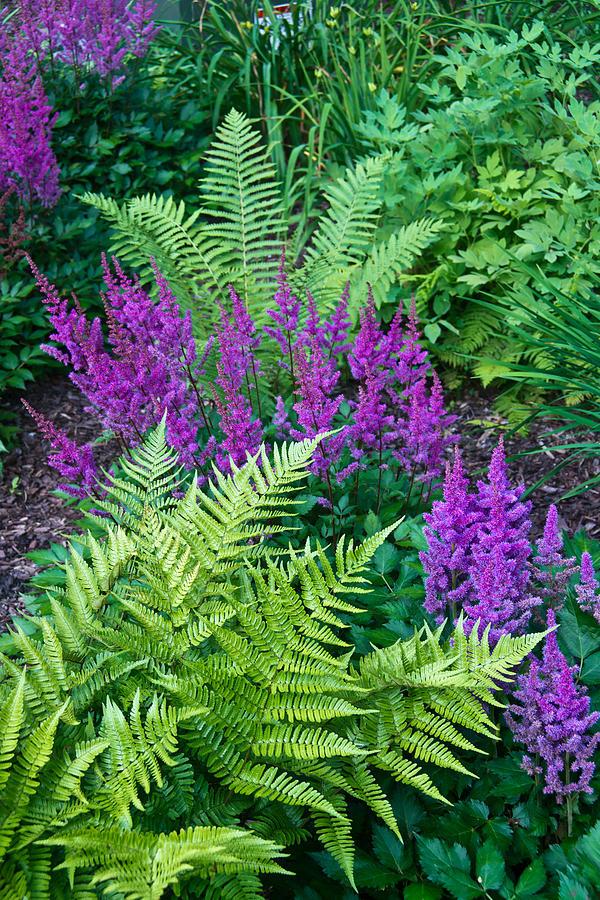 Astilbe Photograph - Astilbe And Ferns by Douglas Barnett