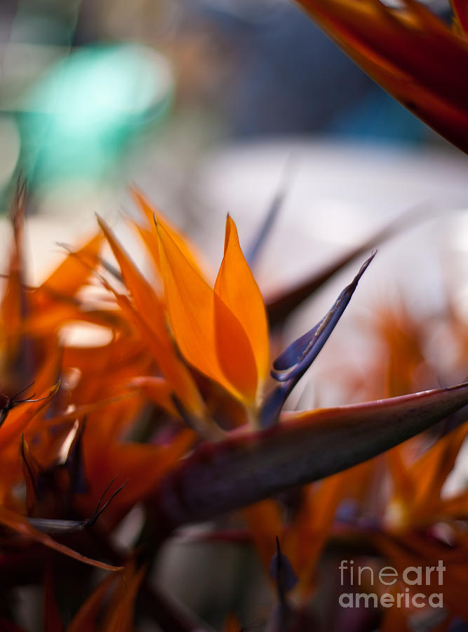 At The Flower Market Bird Of Paradise Photograph
