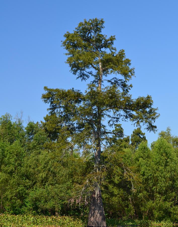 Bald Cypress Photograph - Atchafalaya Basin 42 by Maggy Marsh