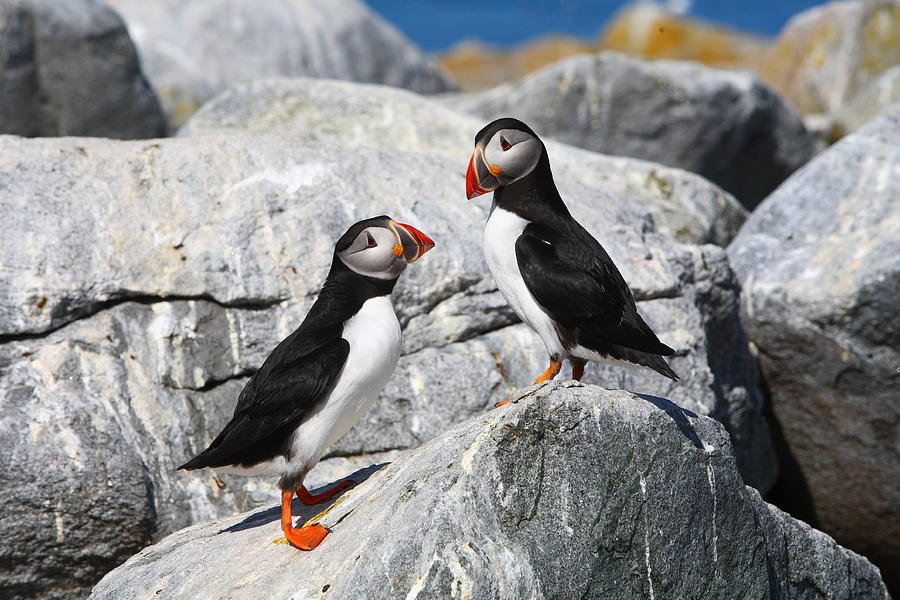 Puffin Photograph - Atlantic Puffins by Bruce J Robinson