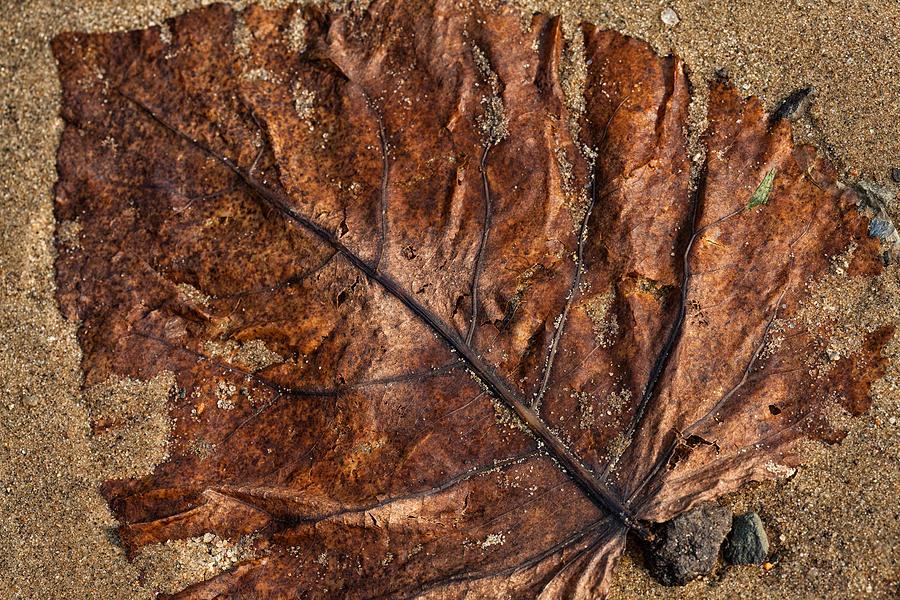 Leaf Photograph - Atres 1 by Karol Livote