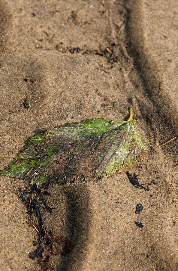 Leaf Photograph - Atres 2 by Karol Livote
