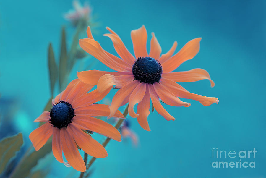 black Eyed Susan Photograph - Attachement - S02cz by Variance Collections