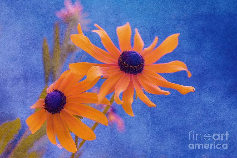 Black Eye Susan Photograph - Attachement - S11at01d by Variance Collections