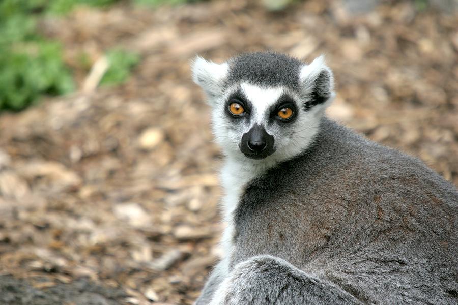 Lemur Faceprofile Photograph