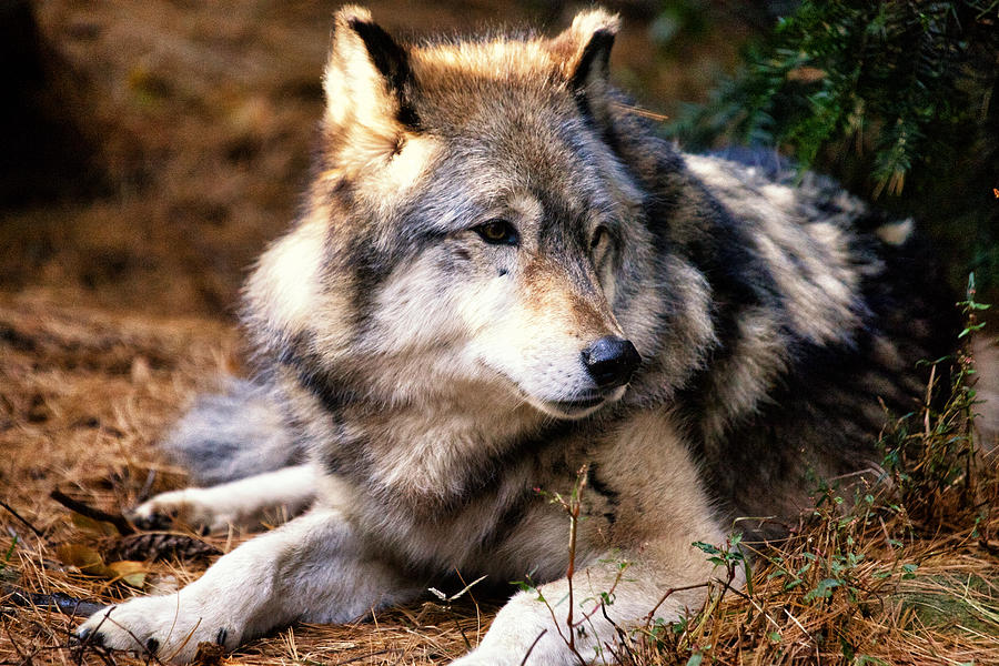Wolf Photograph - Attention by Karol Livote