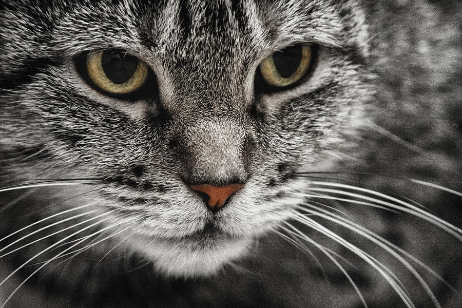 Cat photograph attentive cat in black and white with color eyes by alex