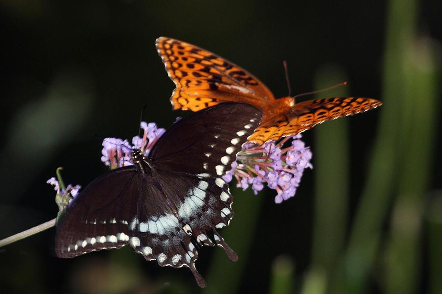 Butterflies Photograph - August Butterflies by Kathryn Mayhue