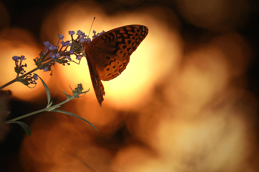 Butterfly Photograph - August Evening by Kathryn Mayhue
