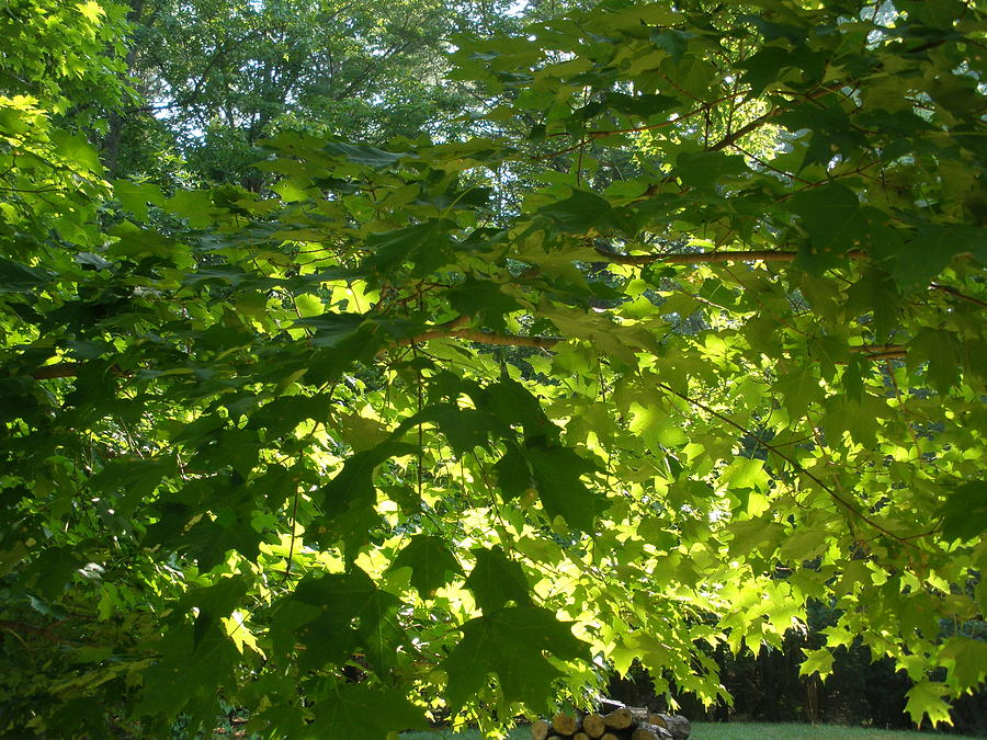 August Photograph - August Leaf Canopy by Suzanne Fenster