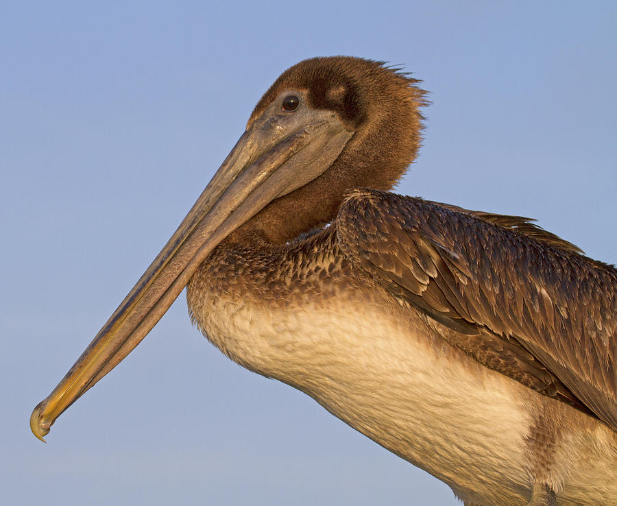 Pelican Photograph - Augustine Brown by Betsy Knapp