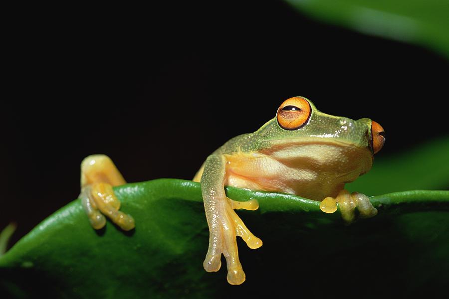 Australasian Tree Frog Litoria Sp Photograph by Gerry Ellis