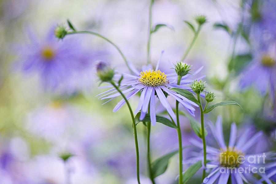 Aster X Frikartii Photograph - Autumn Asters by Jacky Parker