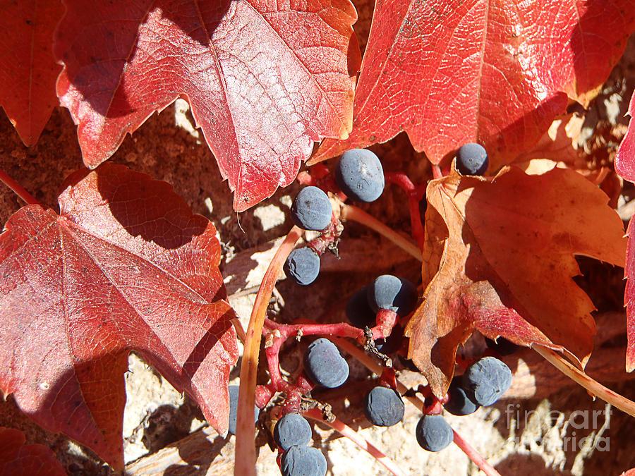 Landscapes Photograph - Autumn berries by Marisa Gabetta