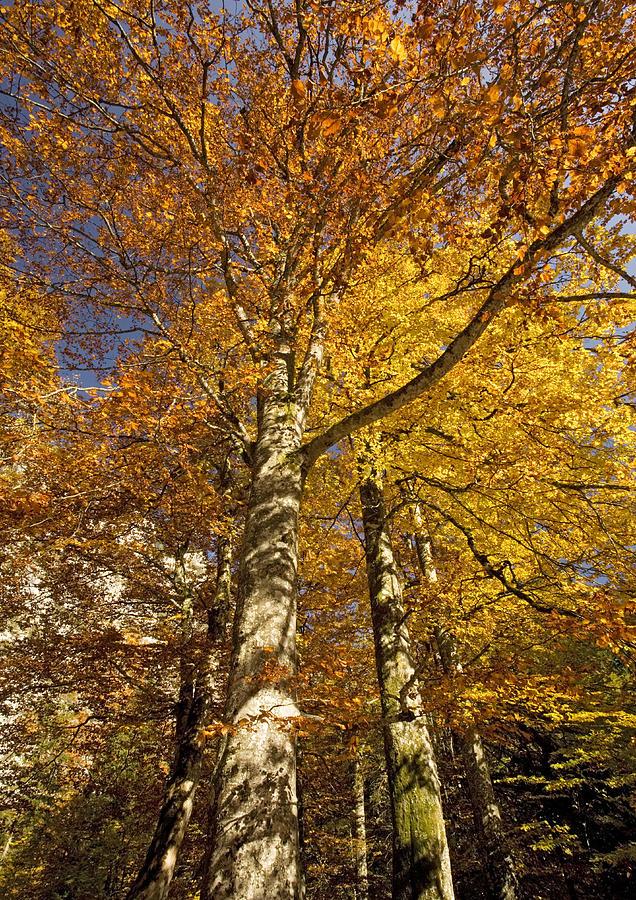 European Beech Photograph - Autumn Colour by Bob Gibbons