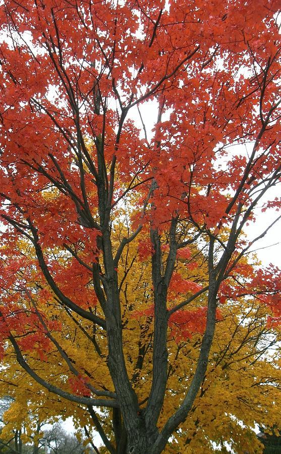 Autumn Trees Photograph - Autumn Duel by Todd Sherlock