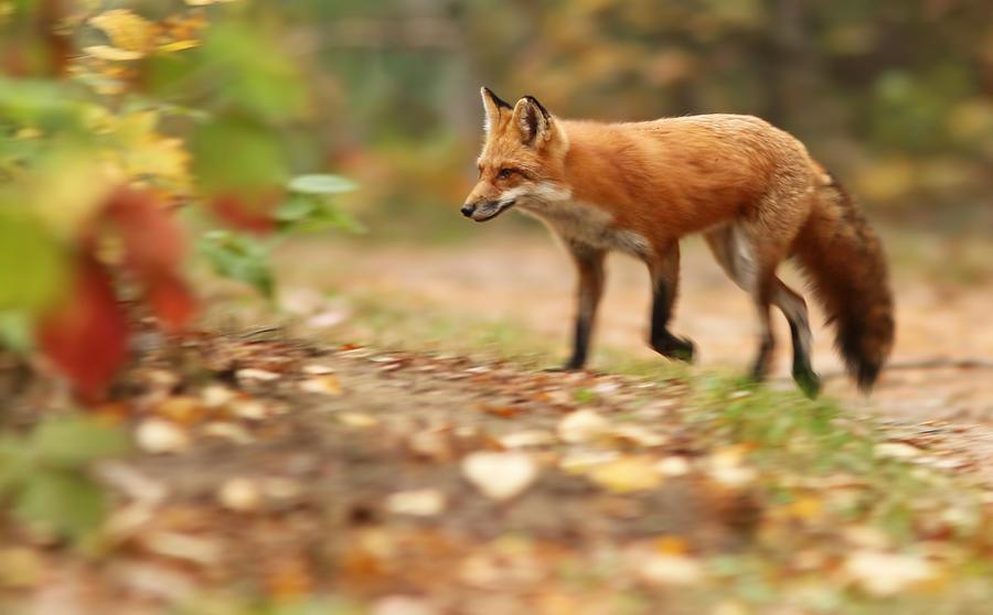 Fox Photograph - Autumn Fox by Mircea Costina Photography
