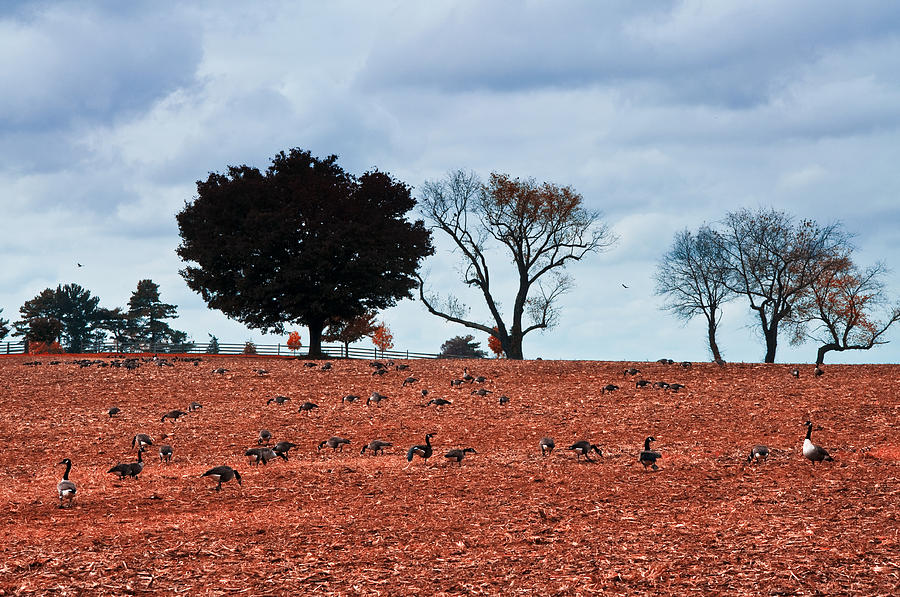 Autumn Photograph - Autumn Geese by Bill Cannon