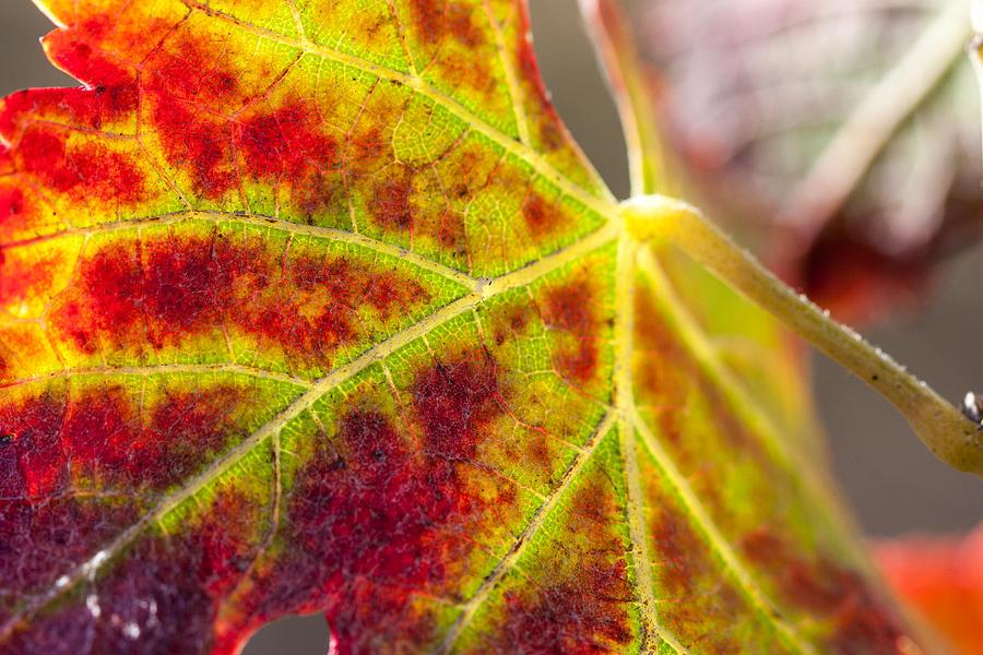 Autumn Photograph - Autumn Grapeleaf Closeup by Dina Calvarese