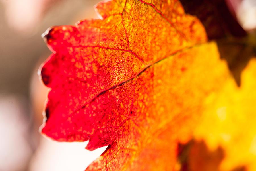 Autumn Photograph - Autumn Grapeleaf Up Close by Dina Calvarese