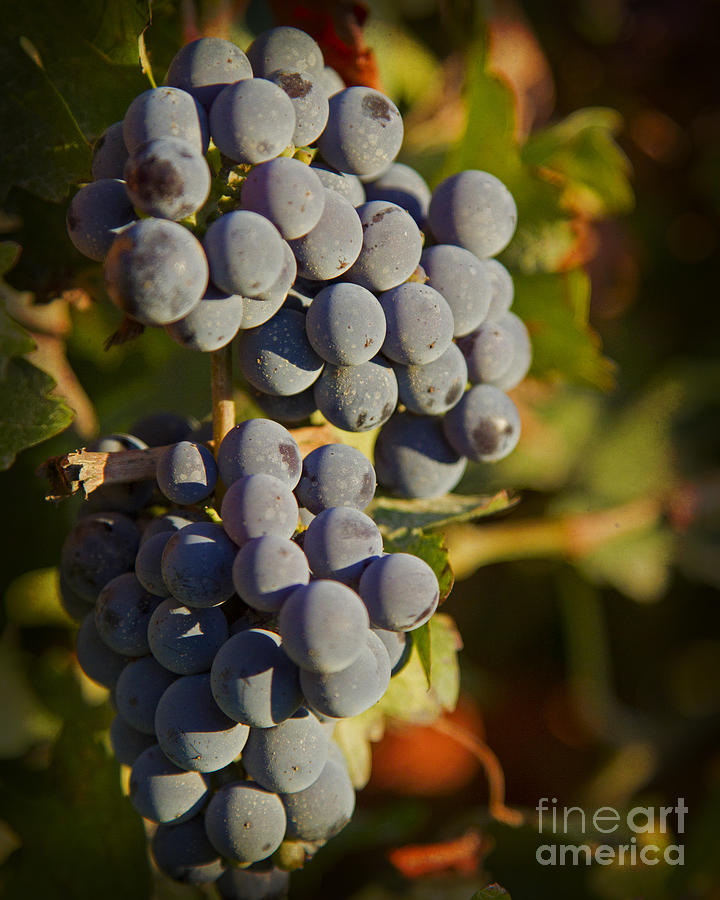 Grapes Photograph - Autumn Grapes On A Vineyard Branch In The Fields At A Winery In  by ELITE IMAGE photography By Chad McDermott