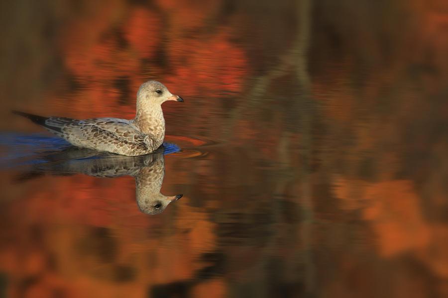 Seagull Photograph - Autumn Gull by Karol Livote